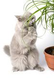 Cat standing on paws eating plant — Stockfoto