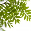 Stock Photo: Rowan leaves isolated