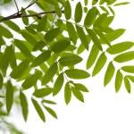 Rowan leaves isolated — Stock Photo