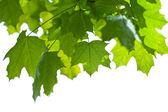 Maple folhas isolada — Fotografia Stock