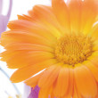 Flower of calendula — Stock Photo #1443576