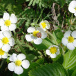 Flowers of wild strawberry — Stock Photo #1443604