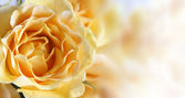 Background with a yellow rose — Stock Photo