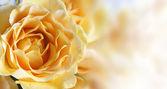 фон с желтой розы — Стоковое фото