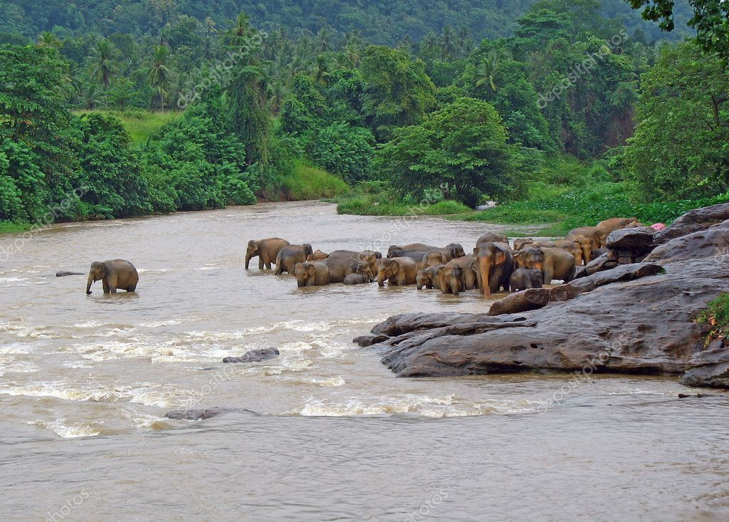 A herd of Elephants standing close to each other in the river, drinking and playing with water in reserve sri lanka.  Stock Photo #1418467