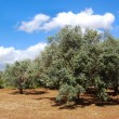 Trees of olives on Cyprus - Stock Photo