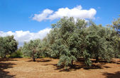 Trees of olives on Cyprus — Stock Photo