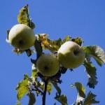 Apple-tree branch — Stock Photo