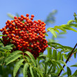 Stock Photo: Mountain ash cluster on branch