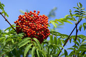 Mountain ash cluster on a branch — Stock Photo