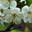 Blossoming apple-tree — Stock Photo