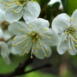 Stock Photo: Blossoming apple-tree