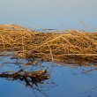 The dried up sedge on river bank after a high water — Stock Photo #1936051
