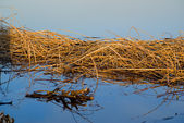 The dried up sedge on river bank after a high water — Stock Photo