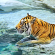Picture of a bengal tiger near the water — Stock Photo #1421700