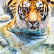Picture of a bengal tiger near the water - Stock Photo