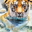 Stock Photo: Picture of bengal tiger near water