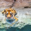Picture of a bengal tiger near the water — Stock Photo #1421789