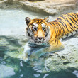 Picture of a bengal tiger near the water — Stock Photo #1421920