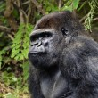 Royalty-Free Stock Photo: Picture of a gorilla outdoors