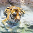 Royalty-Free Stock Photo: Picture of a bengal tiger near the water