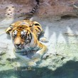 Picture of a bengal tiger near the water — Stock Photo #1422345