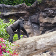 Picture of a gorilla outdoors - Foto de Stock