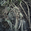 Foto Stock: Ancient root