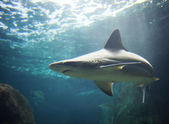Picture of a shark — Stock Photo