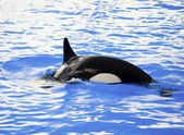 Picture of a killer whale in the water — Stock Photo