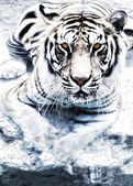 Picture of a silver tiger — Stock Photo