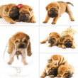Stock Photo: Collage of sharpei puppies