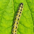 Caterpillar sleeping on a green leaf — Stock Photo #1728366