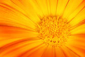 Beautiful orange flower — Stock Photo