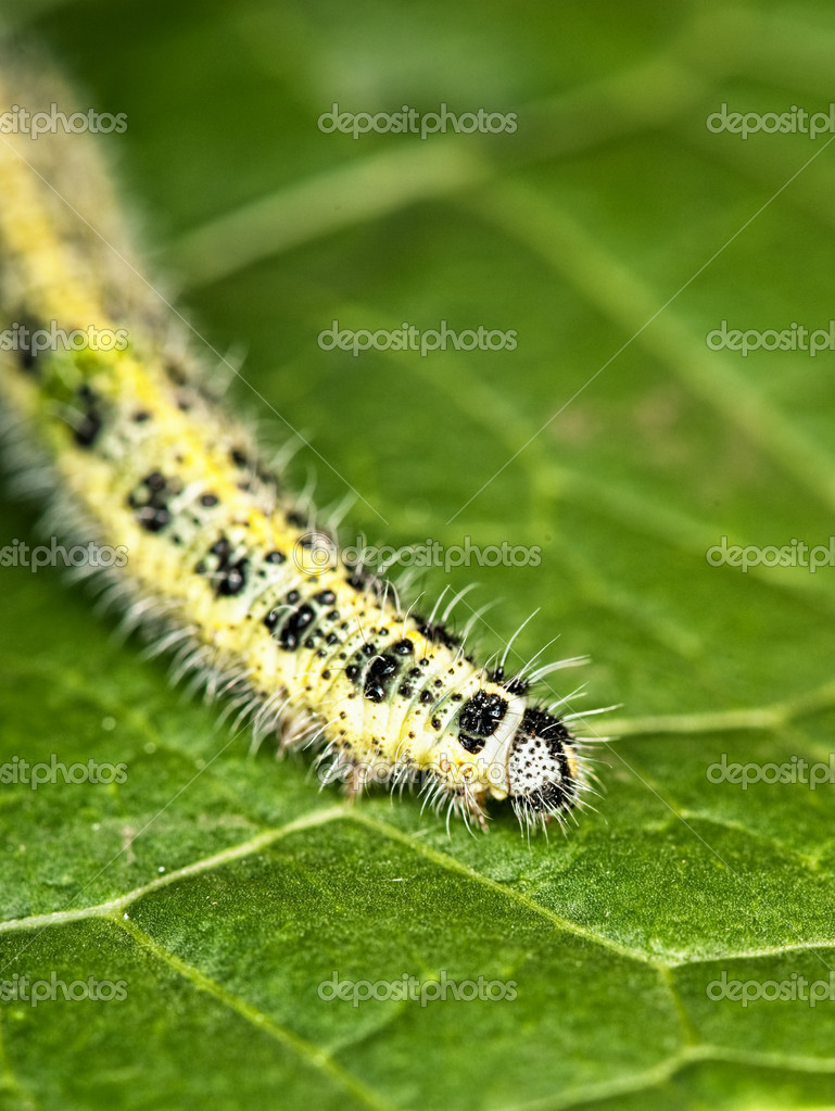 Caterpillar on a green leaf  Stock Photo #1728172