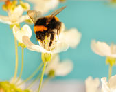 Bumble bee on a flower — Foto de Stock