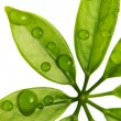 Water drops on fresh green leaves — Stock Photo #2084373