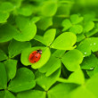 Ladybug sitting on clover leaf — Stock Photo