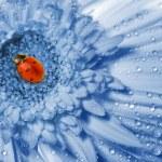 Ladybug sitting on a blue flower — Stock Photo