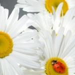 Ladybug sitting on a flower — Stock Photo