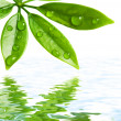 Green leaves reflected in water — Stock Photo #2085166
