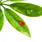 Ladybug sitting on a fresh green leaf — Stock Photo