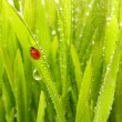 Ladybug sitting on a green grass — Stok fotoğraf #2085456