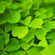 Foto Stock: Clover field