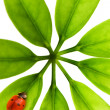 Ladybug sitting on a green leaf — Stock Photo