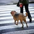 Man with a dog crossing the street - Stockfoto