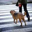 Man with a dog crossing the street - Stok fotoğraf