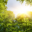 Stock Photo: Sunshine in forest