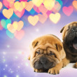 Two shar-pei puppies in love - Stock Photo