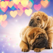 Stock Photo: Two shar-pei puppies in love